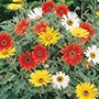 African Daisy New Hybrids