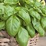 Basil Sweet Herb Seeds
