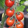 Tomato Sakura F1 AGM Vegetable Plants