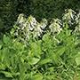 Nicotiana Sylvestris Flower Seeds