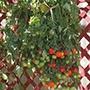 Tomato Tumbling Tom Red Veg Plants