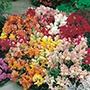 Antirrhinum Tom Thumb Mixed Flower Seed