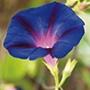 Morning Glory Grandpa Otts Flower Seed