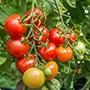 Tomato Shirley AGM (Medium)