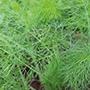 Fennel Herb Seeds