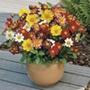 Dahlia Collarette Dandy Mixed Flower
