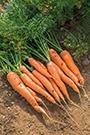 Carrot Maestro F1