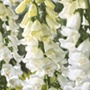 Foxglove Alba Flower Seeds