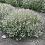 Thyme Orange Scented Herb Seeds