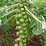 Brussels Sprout Crispus F1