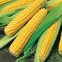 Sweetcorn Bodacious RM F1 Seeds