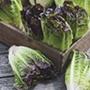 Lettuce Amaze