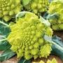 Cauliflower Romanesco Veronica F1