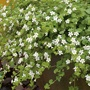 Bacopa Snowtopia White Flower Seed