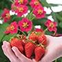 Strawberry Toscana F1