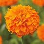 Marigold Kees Orange Flower Seeds