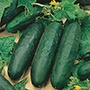 Cucumber Marketmore 76 AGM Seeds