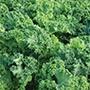 Kale Pentland Brig Vegetable Seeds