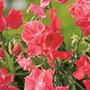 Sweet Pea Leominster Boy Flower Seeds
