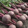 Beetroot Action