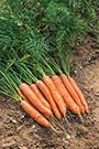 Carrot Nandor F1