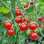 Tomato Sweet Aperitif AGM