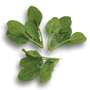 Spinach Turaco F1 Seeds