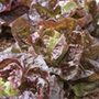 Lettuce Marvel of Four Seasons Seeds