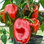 Pepper (Sweet) Tarquinio F1 Seeds