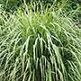 Lemon Grass Herb Seeds