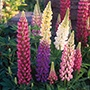 Lupin Festival Mixed Flower Seeds