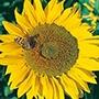 Sunflower Titan Flower Seeds