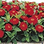 Zinnia Dreamland Red F1 Flower Seeds