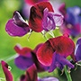 Sweet Pea Cupani Flower Seeds