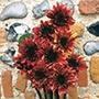 Sunflower Indian Blanket F1
