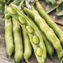 Organic Bean Broad Express Sel. Eleonora