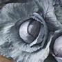 Cabbage Kilmaro F1 Vegetable Seeds