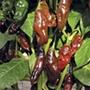 Pepper (Chilli) Machu Picchu