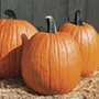 Pumpkin Cargo F1 Seeds