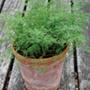 Dill Nano Herb Seeds