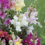 Antirrhinum Twilight Mix Flower Seeds