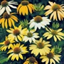 Echinacea Mellow Yellows Flower Seed