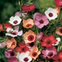 Linum Charmer Extra Mixture Flower Seeds