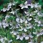 Nigella Sativa Black Caraway Herb Seeds