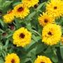 Calendula Bull's Eye Flower Seeds