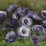 Poppy Amazing Grey Flower Seeds