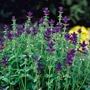 Salvia Clary Oxford Blue