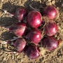 Onion Redlander F1 Seeds