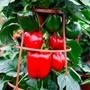 Pepper (Sweet) Big Ben Seeds
