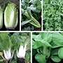 All Year Round Oriental Greens Veg Seed